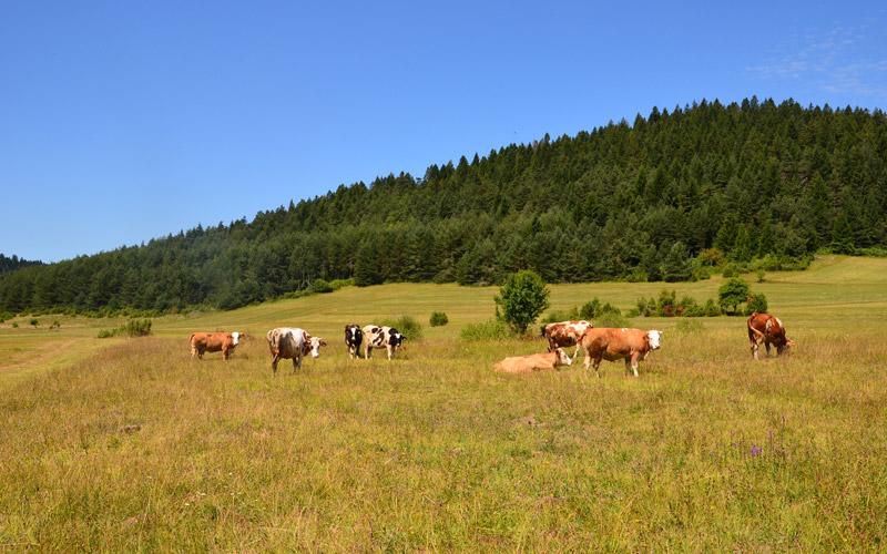 Weidende Kühe in Gornji Babin Potok