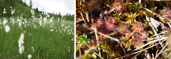 Figure 1 – Transitional bog with (a) the common cottongrass Eeriophorum angustifolium and (b) the common sundew Drosera rotundifolia