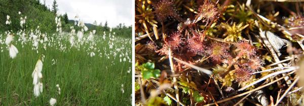 Sl. 1. Prijelazni cret sa a)uskolisna suhoperka Eeriophorum angustifolium i b) okruglolisna rosika Drosera rotundifolia