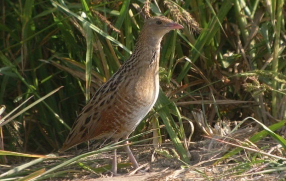 Figure 10 – Corn crake Crex crex (photo: Davor Krnjeta)