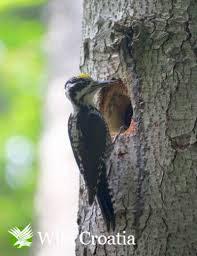 Figure 11 – Three-toed woodpecker Picoides tridactylus