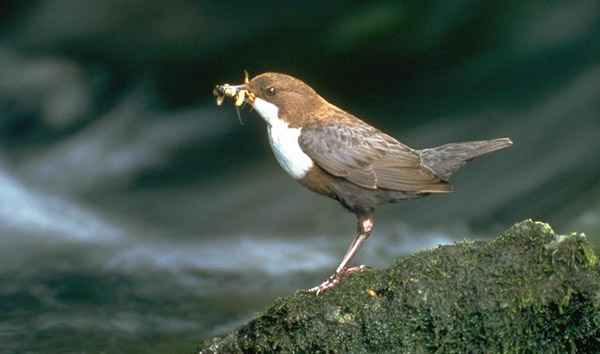 Figure 12 – White-throated dipper Cinclus cinclus (photo: Davor Krnjeta)