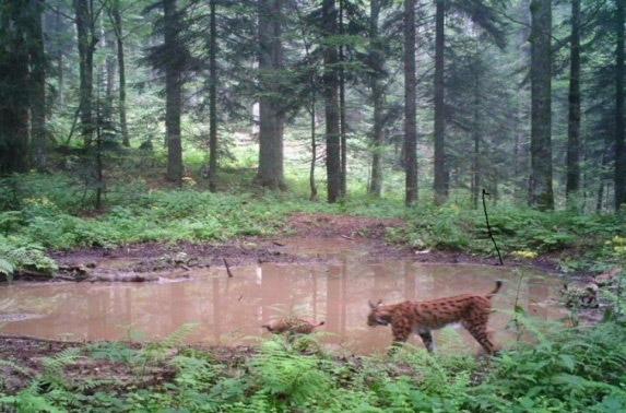 Fig. 14 Lince (Lynx lynx) (Forografia: Archivio del NPPJ)