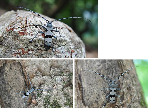 Fig. 4 Cerambice del faggio (Rosalia alpina)