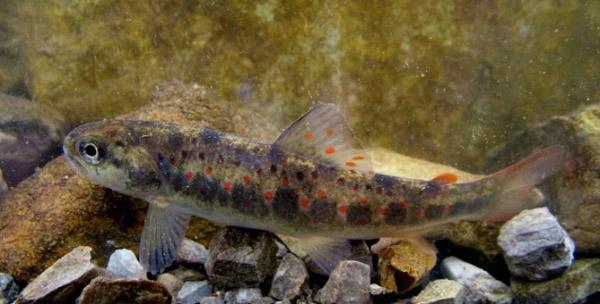 Fig. 6 La trota di fiume (Salmo trutta) (fotografia di: Aljoša Duplić)