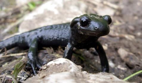 Fig. 7 La salamandra nera (Salamandra atra)
