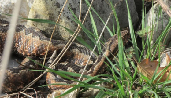 Figure 8 – Nose-horned viper Vipera ammodytes (photo: Sanja Žalac)