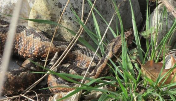 Figure 8 – Nose-horned viper Vipera ammodytes (photo: Sanja Žalac)