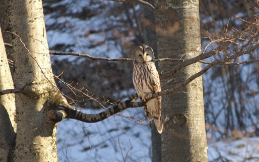 Figure 9 – Ural owl Strix uralensis (photo: Dario Štefančić)