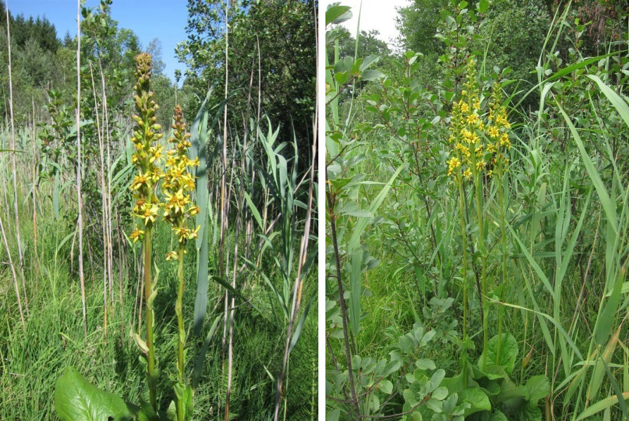 Fig. 2 Ligulaire de Sibérie Ligularia sibirica