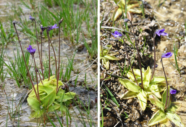Fig.4. Grassette commune Pinguicula vulgaris