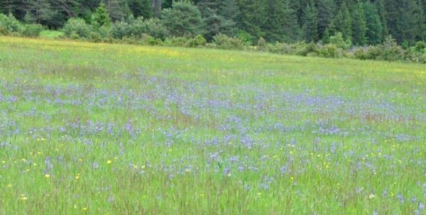 Figure 1 – Purple moor grass and Pannonian sweet pea (As. Molinio-Lathyretum pannonici H-ić. 1963)
