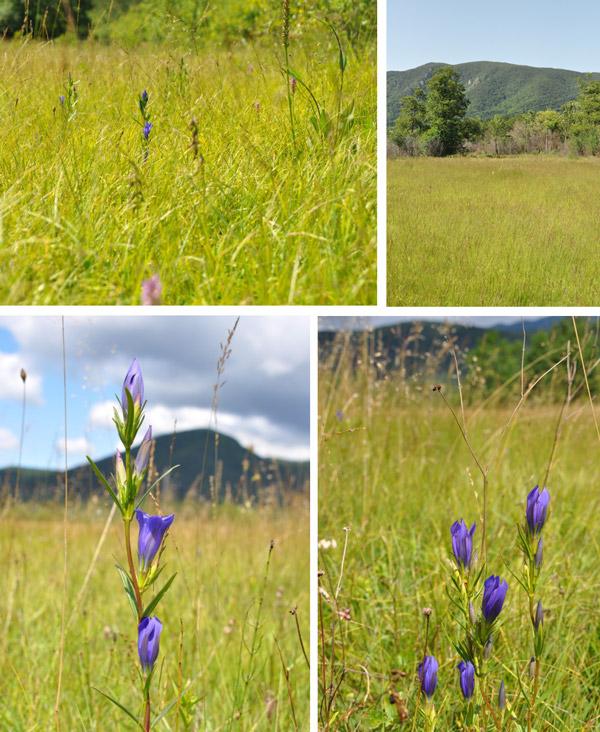 Figure 2 – Marsh gentian and moor grass (As. Gentiano pneumonanthe-Molinietum litoralis Ilijanić 1968)