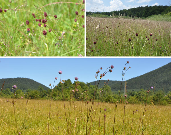 Figure 3 – Purple moor grass in the summer when the great burnet Sanguisorba officinalis is dominant