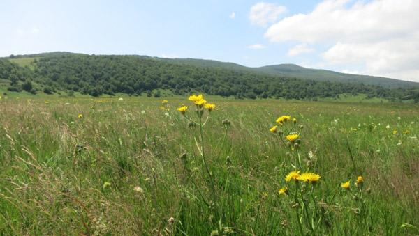 Abb. 5 Grünland mit aufrechtem knotenlosen Pfeifengras und Großköpfigem Pippau (As. Crepidi conyzaefoliae-Molinietum altissimae Šegulja 1992). Feld Homoljačko polje.